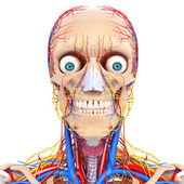 Nervoso, circulatório cabeça isolada — Foto Stock
