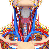 Front view of throat circulatory system isolated — Foto Stock