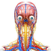 Side view of head circulatory system isolated — Foto Stock