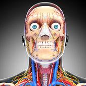 Nervoso sistema circulatório cabeça, isolado em cinza — Foto Stock