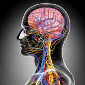 Side view of circulatory and nervous system with, eyes, throat, teeth isolated in gray — Stock Photo