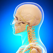 3d art illustration of human skeleton side view — Stock Photo