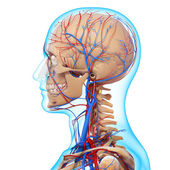 Side view of head circulatory system with, eyes, throat, teeth isolated — Foto Stock