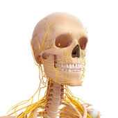Front side view of male skeleton with nervous — Stock Photo