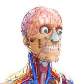 Vista frontal de la cabeza sistema circulatorio y sistema nervioso — Foto de Stock