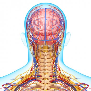 Back view of circulatory and nervous system of back view of brain