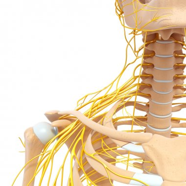 Half skeletal view of human body with nervous system