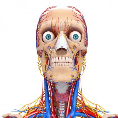 Front view of head circulatory system and nervous system