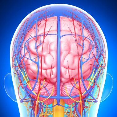 Back view of brain circulatory and nervous system with, eyes, throat, teeth isolated in blue