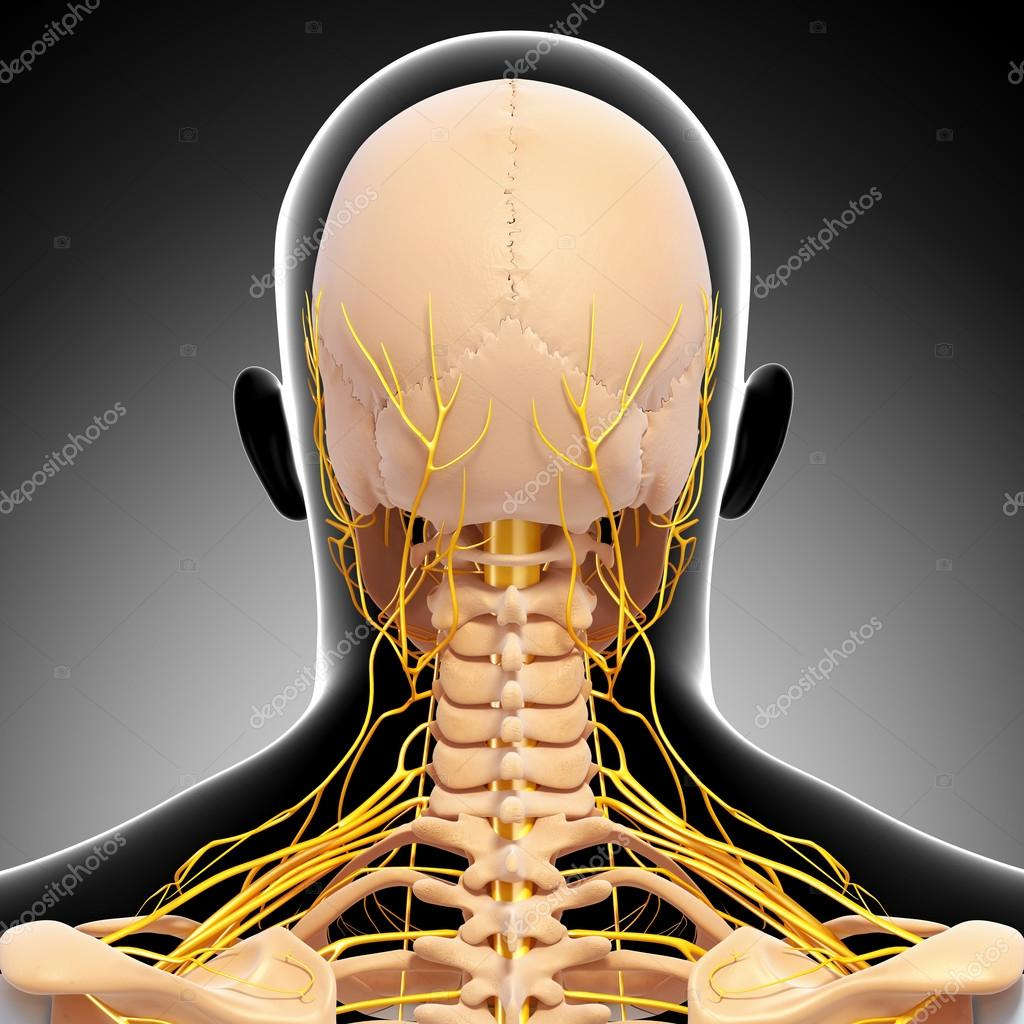 Back view of human skeleton nervous system isolated stock photo
