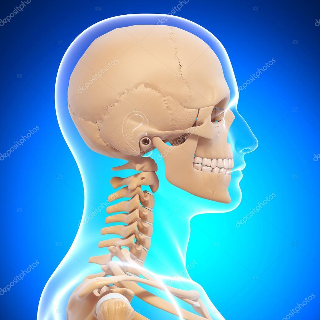 Human skeleton side view — Stock Photo © pixologic #22677549