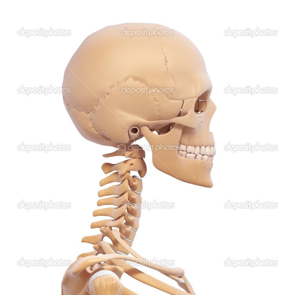 Human skeleton side view — Stock Photo © pixologic #22677793