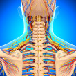 Circulatory and nervous system of back view of back isolated in blue — Stock Photo #22680085