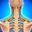 Stock Photo: Circulatory and nervous system of back view of back isolated in blue