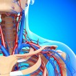 Stock Photo: Front half view of throat circulatory and nervous system isolated