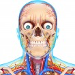 Stock Photo: Front view of head circulatory system isolated
