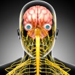 Male skeleton with brain and nervous system isolated — Stock Photo #22680451