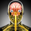 Stock Photo: Male skeleton with brain and nervous system isolated