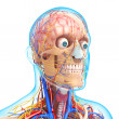Stock Photo: Head circulatory system and nervous system