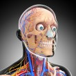 Head circulatory system and nervous system - Stock Photo