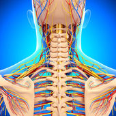 Circulatory and nervous system of back view of back isolated in blue — Stock Photo