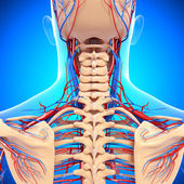 Circulatory system of back view of back isolated — Stock Photo
