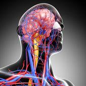 Vista lateral do cérebro sistema circulatório com, olhos, garganta, dentes isolados — Foto Stock