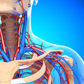 Front half view of throat circulatory and nervous system isolated — Stock Photo