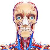 Garganta de cabeça nervosa, dentes e sistema circulatório — Foto Stock