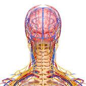 Costas de cabeça sistema circulatório isolado com fundo branco — Foto Stock