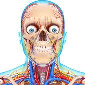 Vista frontal da cabeça sistema circulatório isolado — Foto Stock