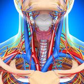 Vista frontal da garganta circulatório sistema isolado — Foto Stock