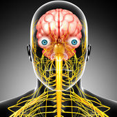 Male skeleton with brain and nervous system isolated — Stock Photo