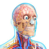 Head circulatory system and nervous system — Foto Stock