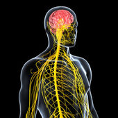 View of male nervous system — Stock Photo