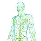 Lymphatic system of male in green — Stock Photo