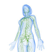 Lymphatic system of female with half body — Stock Photo