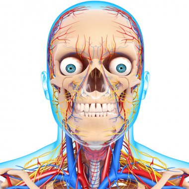 Front view of head circulatory system isolated