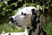 Portrait of a dalmation dog — Stock Photo