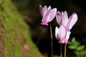 Delicate wild flowers (Cyclamens) — Photo