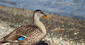 Feemale mallard duck — Stock Photo