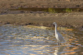 Egret bird — Stock Photo