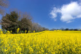 Yellow fields — Stock Photo