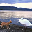 Cat and swan — Stock Video