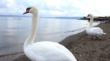 Lake swans — Stockvideo