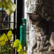 gatto italiano — Foto Stock #38737253