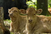 Two calves — Foto de Stock