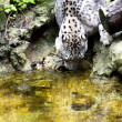 White leopard — Stock Photo