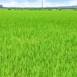 Green Field — Stock Photo