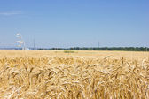 Grain field — Stockfoto